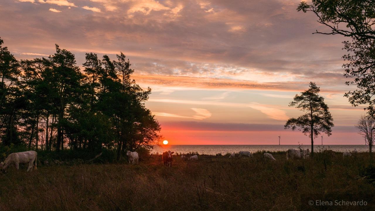 Sonnenaufgang vor unserer Hütte mit Bäumen, Kühen und Meer.