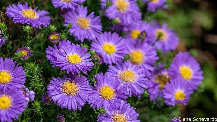 Nahaufnahme einer violett blühenden Herbstaster