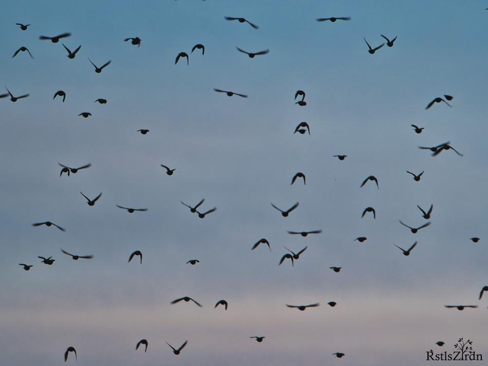Fliegende Stare