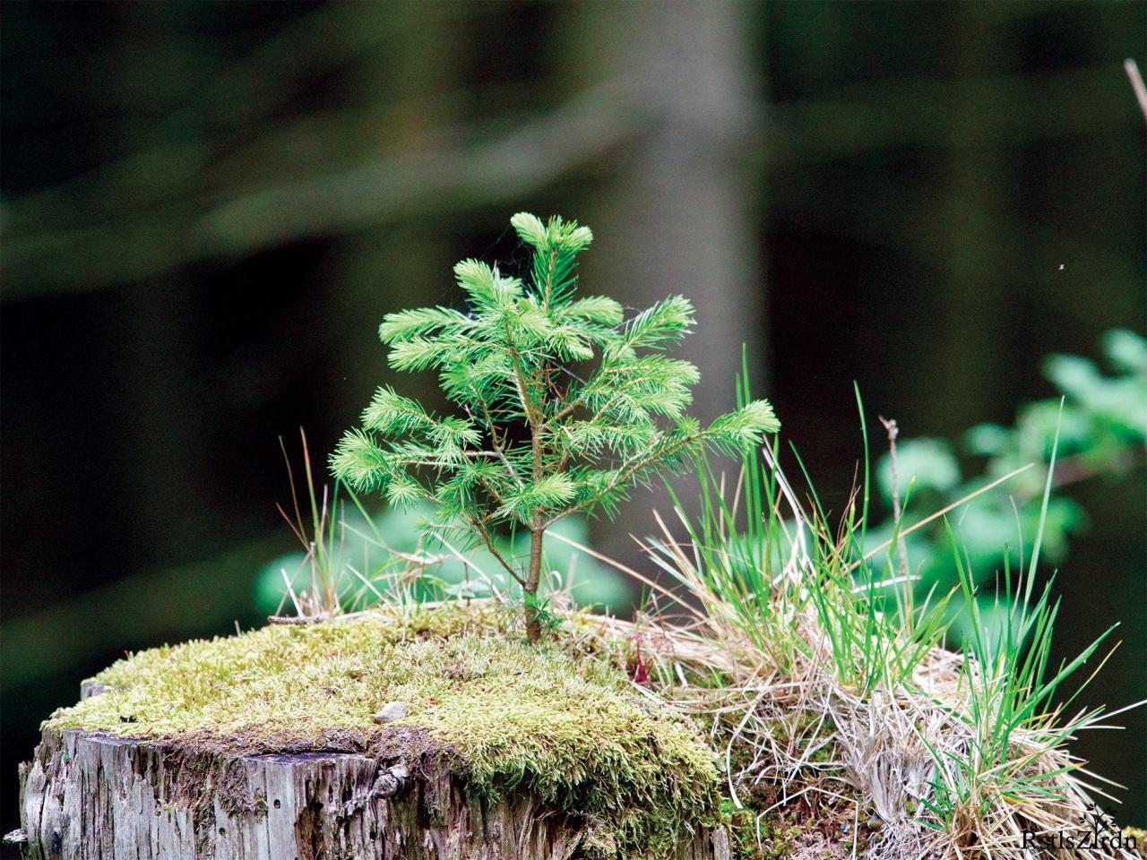 Kleine Fichte auf Baumstumpf